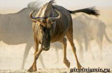 Антилопа гну. Образ жизни и среда обитания антилопы гну