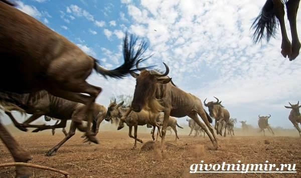 Антилопа-гну-Образ-жизни-и-среда-обитания-антилопы-гну-5