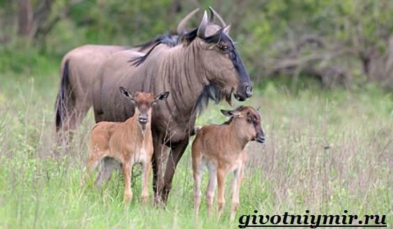 Антилопа-гну-Образ-жизни-и-среда-обитания-антилопы-гну-9