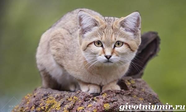 Барханный-кот-Образ-жизни-и-среда-обитания-барханного-кота-1