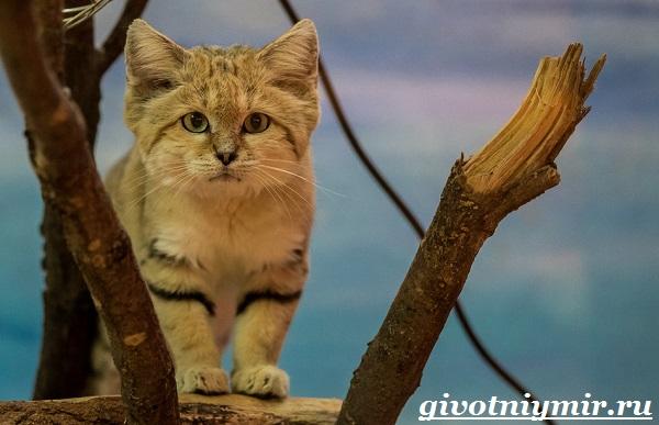 Барханный-кот-Образ-жизни-и-среда-обитания-барханного-кота-11