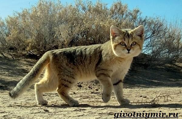 Барханный-кот-Образ-жизни-и-среда-обитания-барханного-кота-2