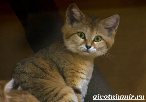 Барханный-кот-Образ-жизни-и-среда-обитания-барханного-кота-3