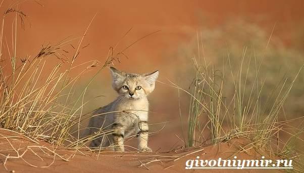 Барханный-кот-Образ-жизни-и-среда-обитания-барханного-кота-4