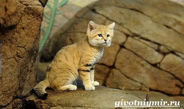 Барханный-кот-Образ-жизни-и-среда-обитания-барханного-кота-5
