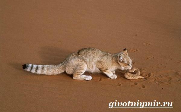 Барханный-кот-Образ-жизни-и-среда-обитания-барханного-кота-6
