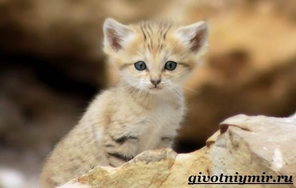 Барханный-кот-Образ-жизни-и-среда-обитания-барханного-кота-7