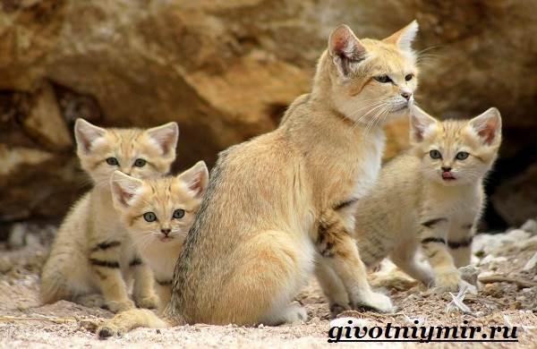 Барханный-кот-Образ-жизни-и-среда-обитания-барханного-кота-8