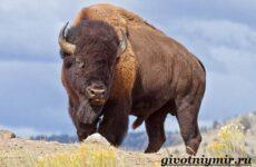 Бизон животное. Образ жизни и среда обитания бизона