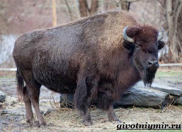 Бизон-животное-Образ-жизни-и-среда-обитания-бизона-3