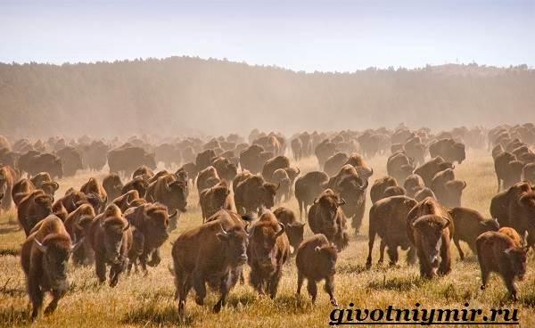 Бизон-животное-Образ-жизни-и-среда-обитания-бизона-4