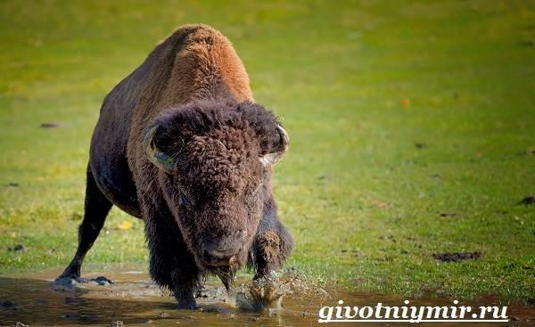 Бизон-животное-Образ-жизни-и-среда-обитания-бизона-5