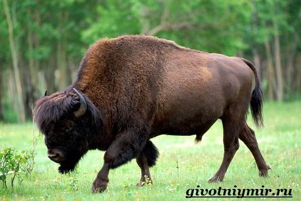 Бизон-животное-Образ-жизни-и-среда-обитания-бизона-6