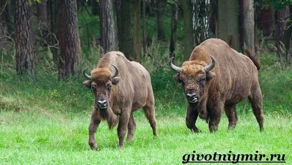 Бизон-животное-Образ-жизни-и-среда-обитания-бизона-7