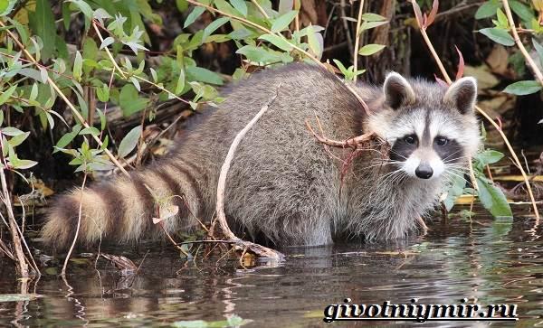 Енот-полоскун-Образ-жизни-и-среда-обитания-енота-полоскуна-5