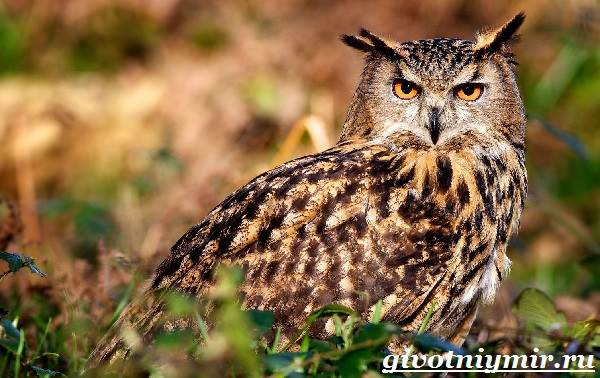 Филин-птица-Образ-жизни-и-среда-обитания-филина-1