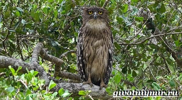 Филин-птица-Образ-жизни-и-среда-обитания-филина-10