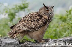 Филин птица. Образ жизни и среда обитания филина