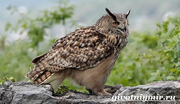 Филин-птица-Образ-жизни-и-среда-обитания-филина-2