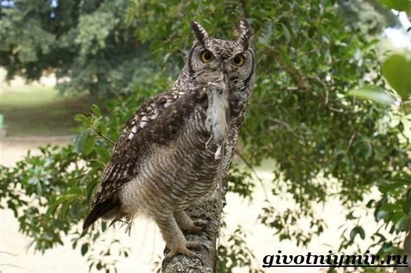 Филин-птица-Образ-жизни-и-среда-обитания-филина-3