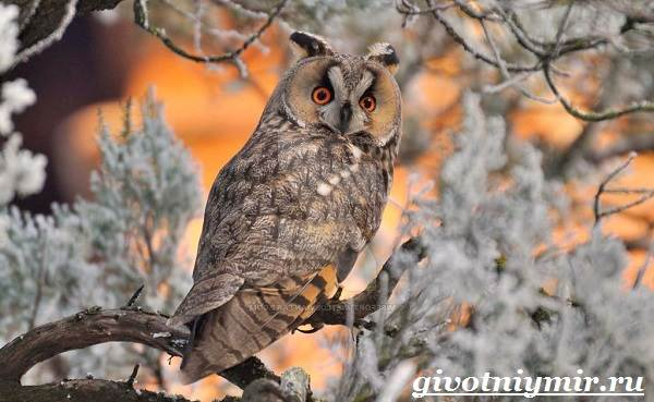 Филин-птица-Образ-жизни-и-среда-обитания-филина-4