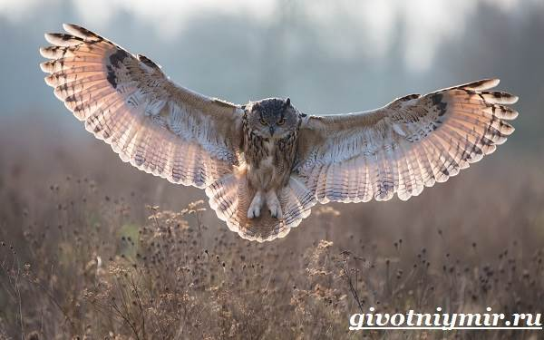 Филин-птица-Образ-жизни-и-среда-обитания-филина-5