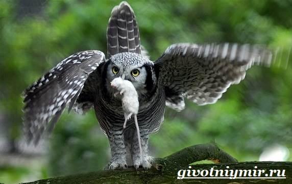 Филин-птица-Образ-жизни-и-среда-обитания-филина-6