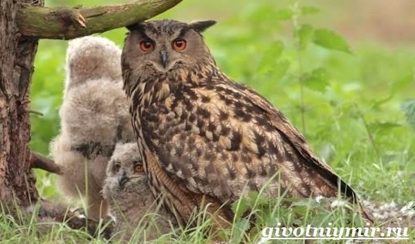 Филин-птица-Образ-жизни-и-среда-обитания-филина-7