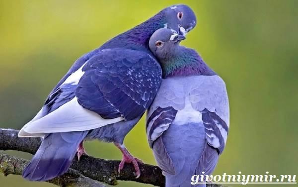 Голубь-птица-Образ-жизни-и-среда-обитания-голубя-1