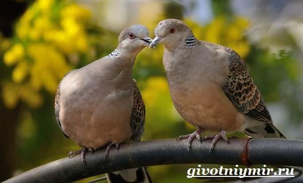 Голубь-птица-Образ-жизни-и-среда-обитания-голубя-10