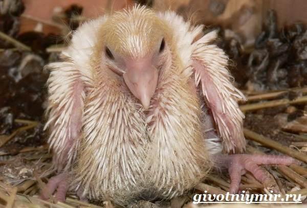 Голубь-птица-Образ-жизни-и-среда-обитания-голубя-11