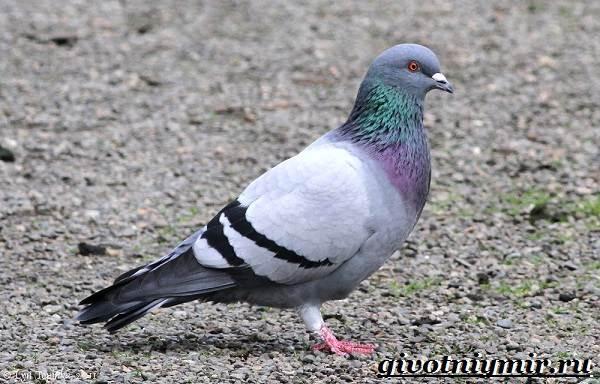 Голубь-птица-Образ-жизни-и-среда-обитания-голубя-2