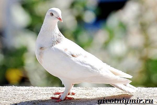 Голубь-птица-Образ-жизни-и-среда-обитания-голубя-3