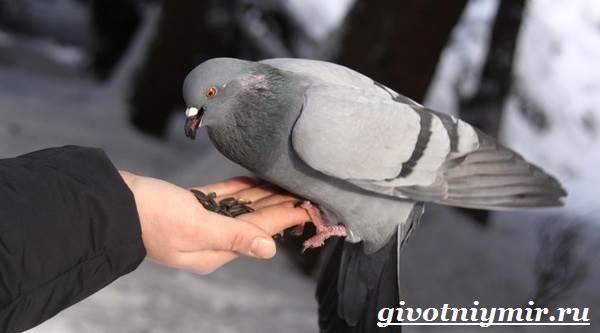 Голубь-птица-Образ-жизни-и-среда-обитания-голубя-5