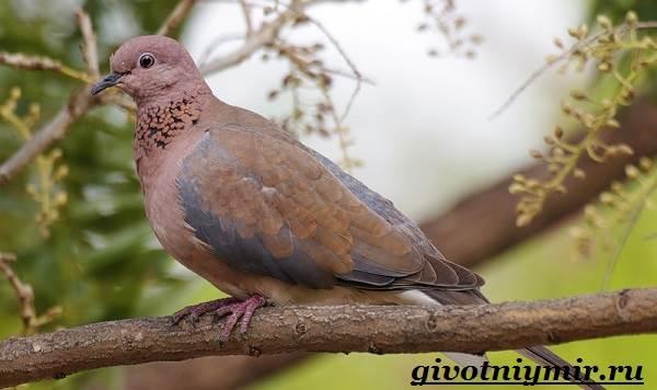 Голубь-птица-Образ-жизни-и-среда-обитания-голубя-7