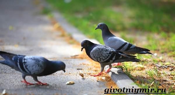 Голубь-птица-Образ-жизни-и-среда-обитания-голубя-8