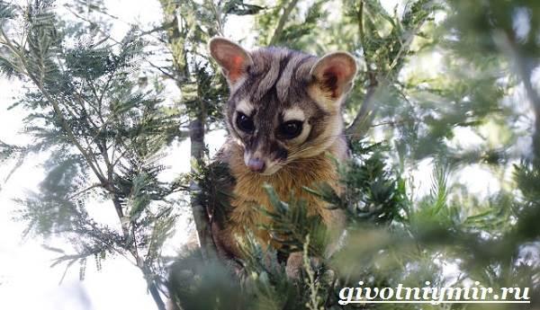 Какомицли-животное-Образ-жизни-и-среда-обитания-какомицли-2