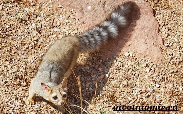 Какомицли-животное-Образ-жизни-и-среда-обитания-какомицли-3