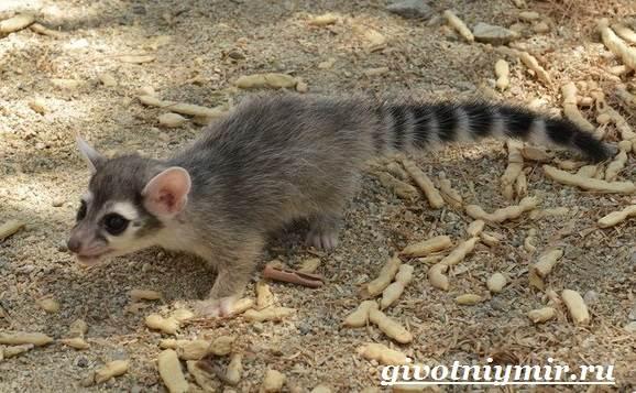 Какомицли-животное-Образ-жизни-и-среда-обитания-какомицли-5