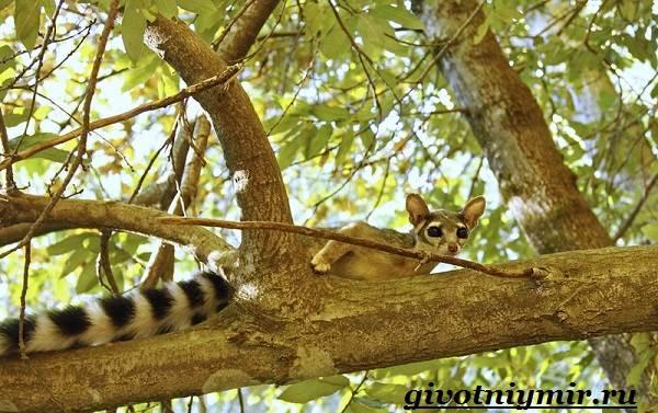 Какомицли-животное-Образ-жизни-и-среда-обитания-какомицли-6