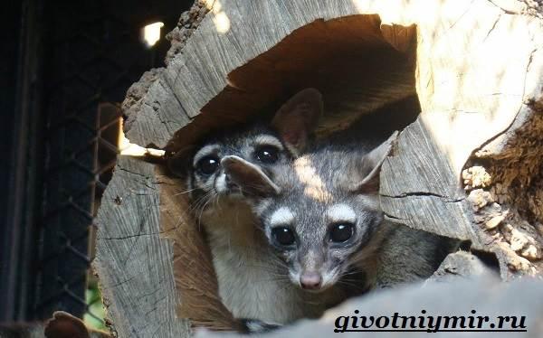 Какомицли-животное-Образ-жизни-и-среда-обитания-какомицли-8