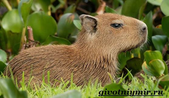Капибара-животное-Образ-жизни-и-среда-обитания-капибара-1