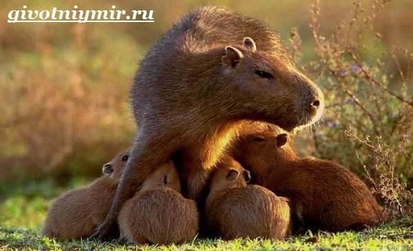 Капибара-животное-Образ-жизни-и-среда-обитания-капибара-10