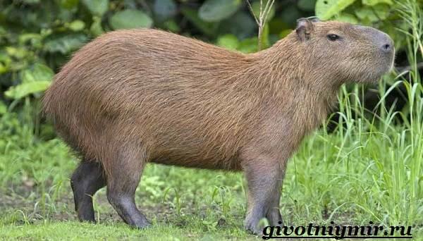 Капибара-животное-Образ-жизни-и-среда-обитания-капибара-2