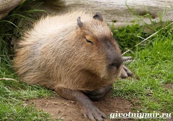 Капибара-животное-Образ-жизни-и-среда-обитания-капибара-3