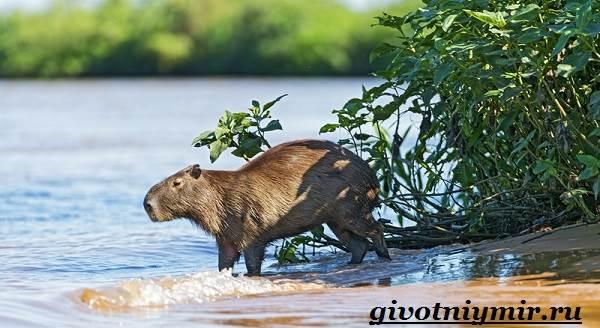 Капибара-животное-Образ-жизни-и-среда-обитания-капибара-4
