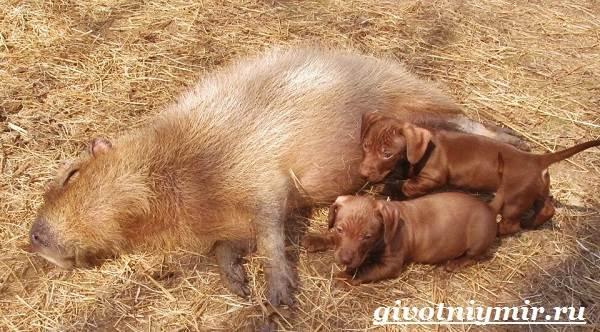 Капибара-животное-Образ-жизни-и-среда-обитания-капибара-5