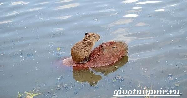Капибара-животное-Образ-жизни-и-среда-обитания-капибара-7