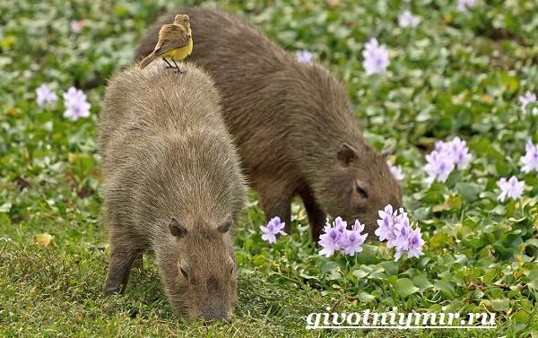 Капибара-животное-Образ-жизни-и-среда-обитания-капибара-9