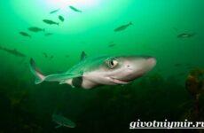 Катран акула. Образ жизни и среда обитания акулы катран